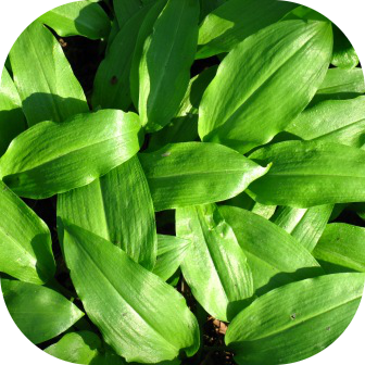 wild bear garlic